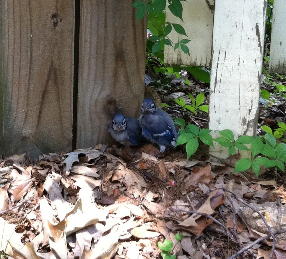 Baby blue jays