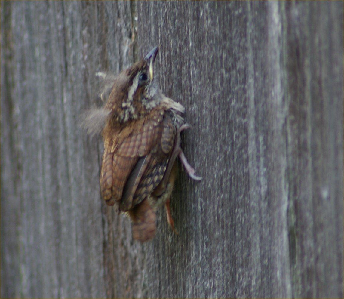 wren fledging