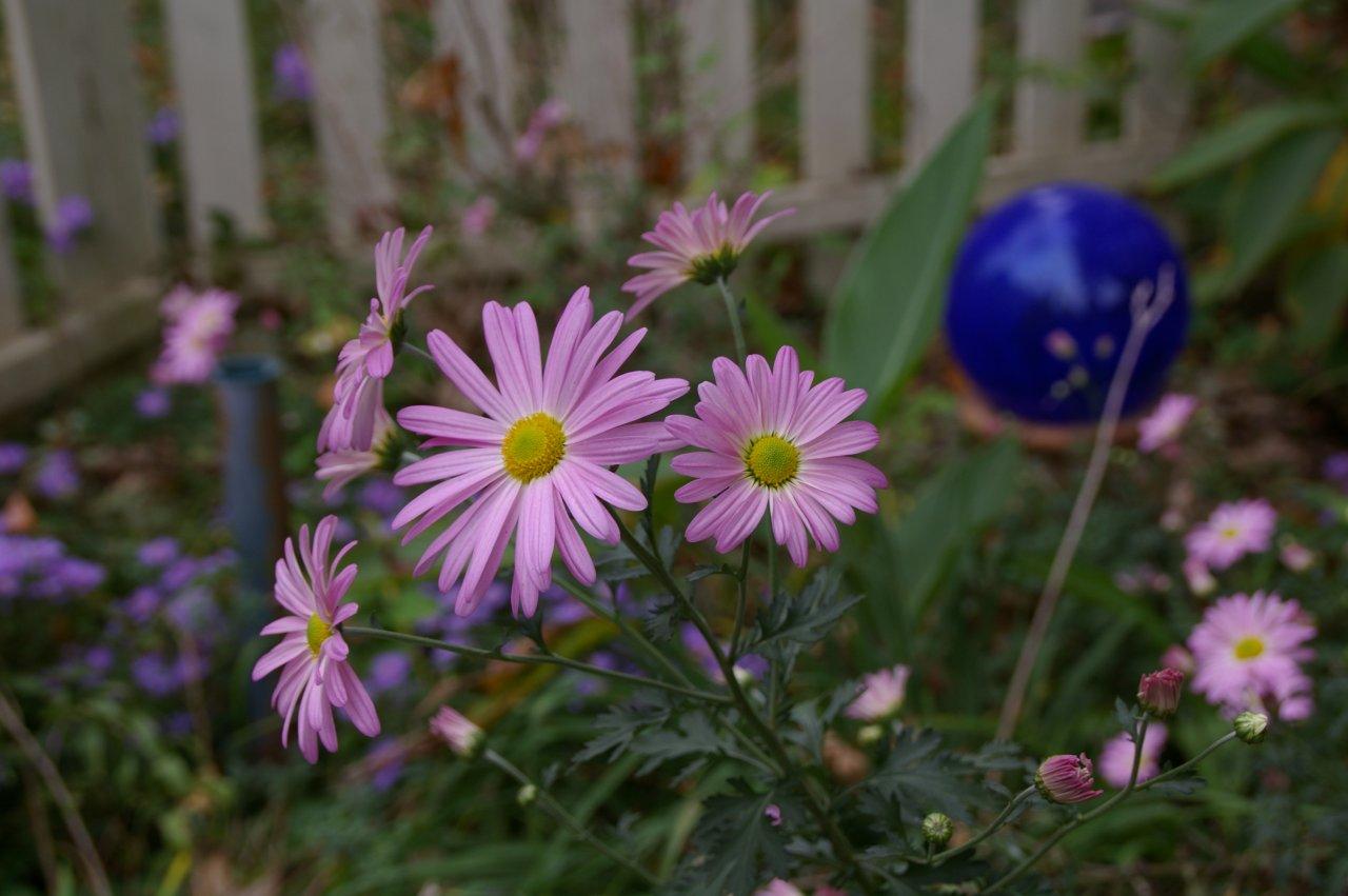 Clara Curtis chrysanthemum