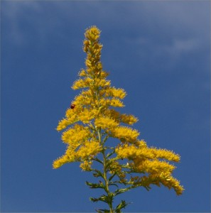goldenrod_and_blue